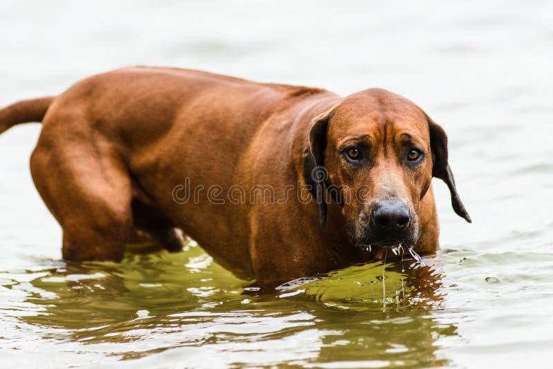 Pijnlijke Rhodesian Ridgeback die uit water komen stock fotografie