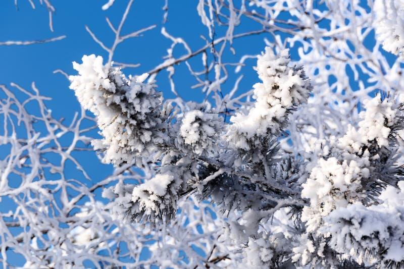 Pijntak bedekt met heurvorst op een koude zonnige winterdag tegen een blauwe hemel stock afbeelding