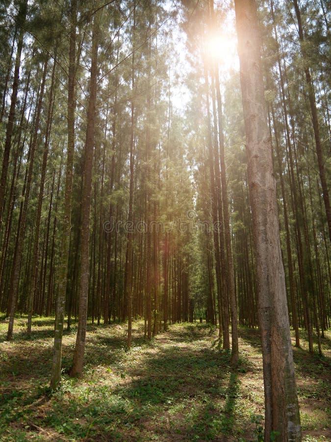 Pijnwoud met zonlicht dat naar beneden schijnt, Mystical green forest forest, In thailand, Nature background stock afbeeldingen
