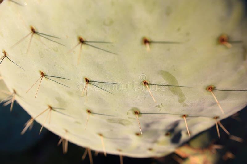 Pik och blomma på en kaktus arkivbilder