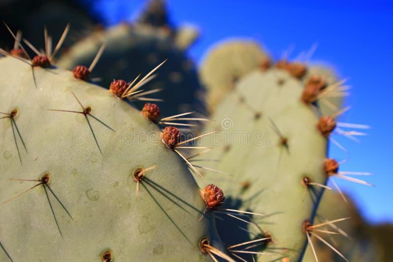 Pik och blomma på en kaktus arkivfoto