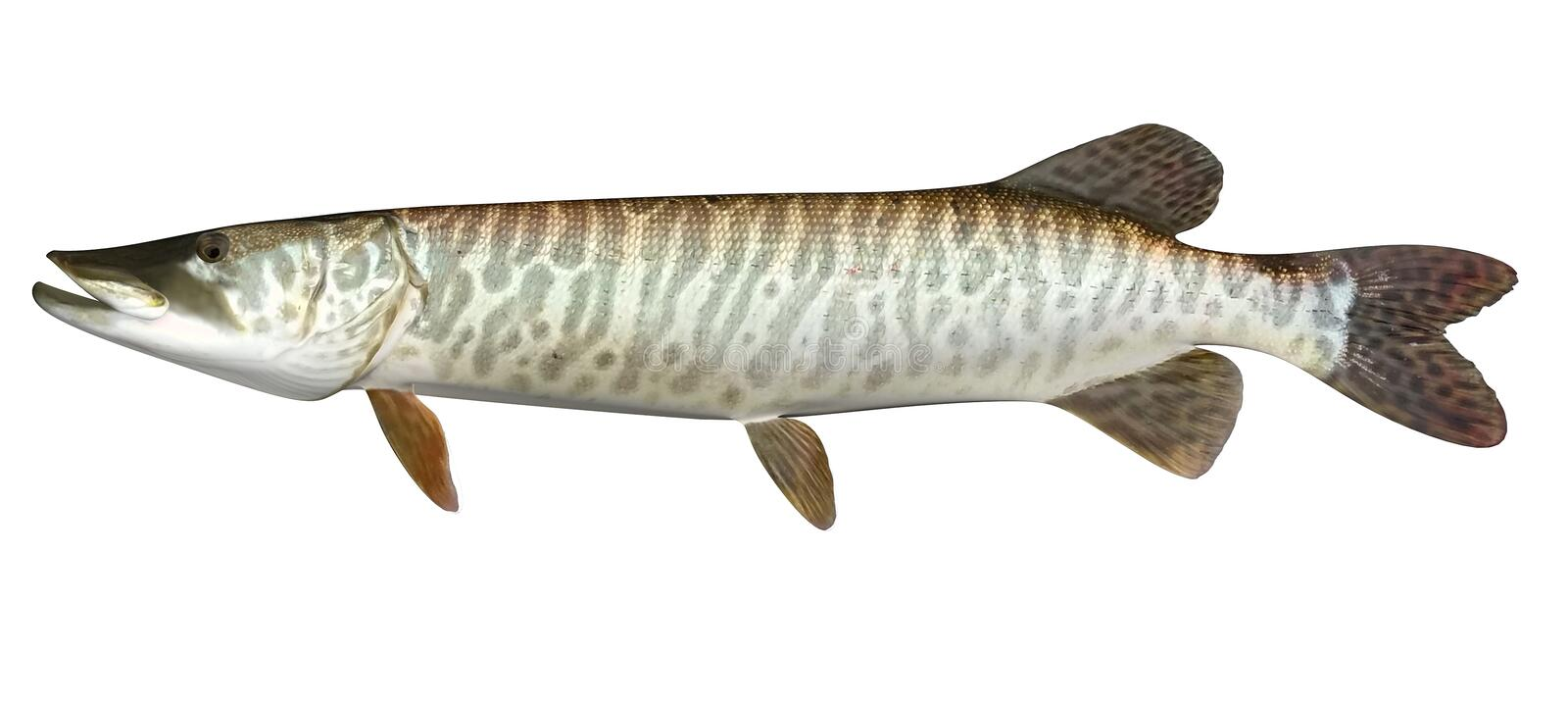 Pik Tiger Muskie vektor illustrationer