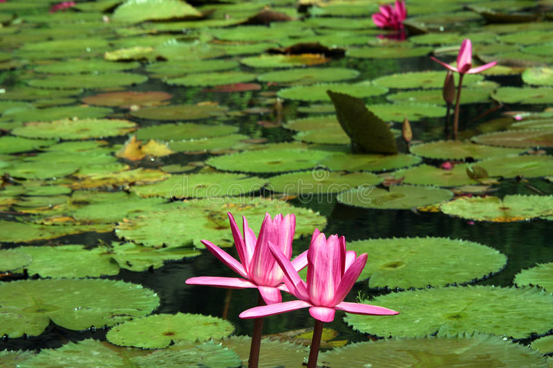 Pik water lily royalty free stock images