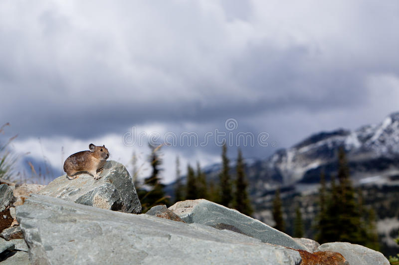 Download Pika Stock Photography - Image: 18756822