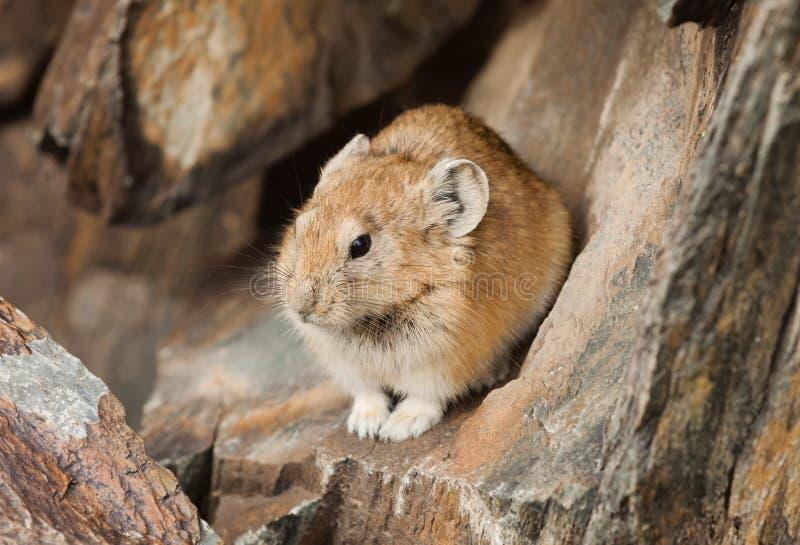 Pika de Altai que senta-se na pedra imagens de stock