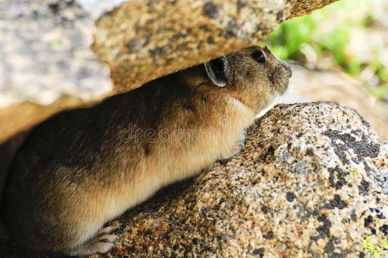 Pika Hiding Royalty Free Stock Images