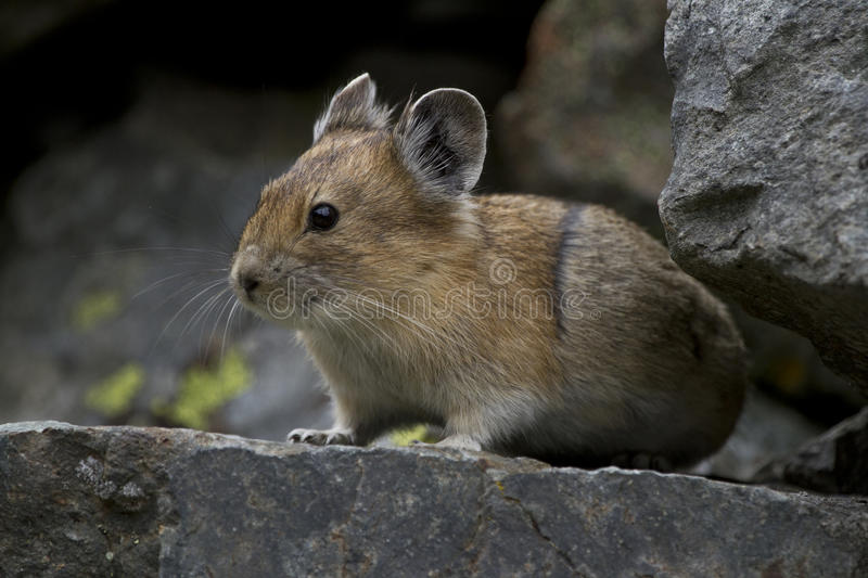 Pika In The Rocks Royalty Free Stock Images