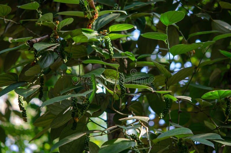 Pikantności plantacja 2019 - czarny pieprz Zanzibar Tanzania, Luty, - zdjęcie royalty free