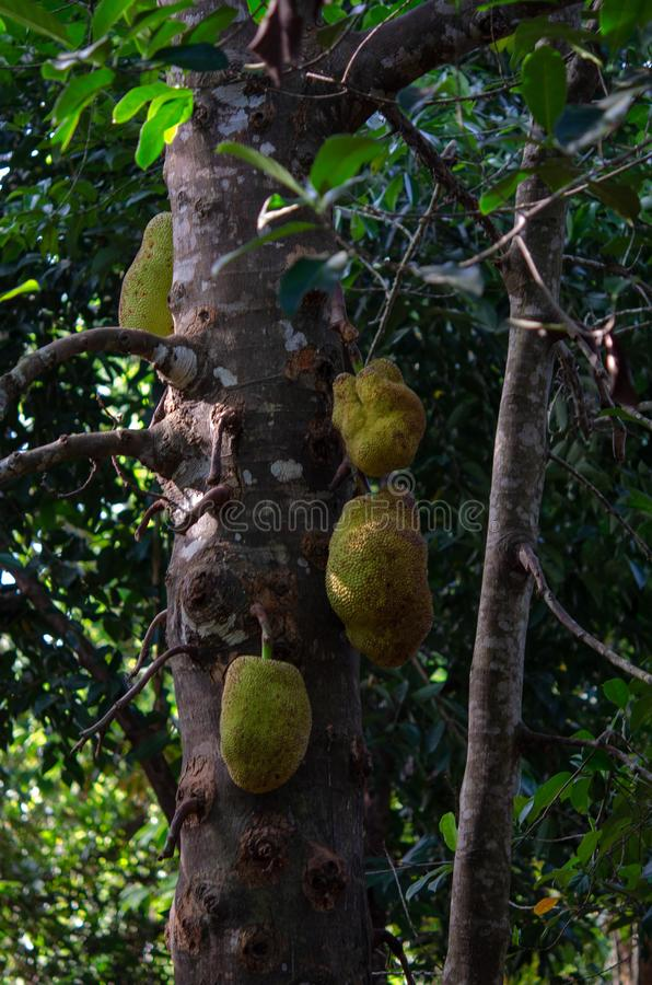 Pikantności plantacja 2019 - dźwigarek owoc Tanzania, Luty od Zanzibar, - fotografia royalty free