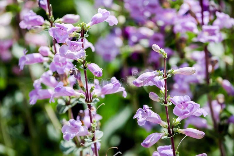 Pikar når en höjdpunkt lilor (Penstemonmexicalien) fotografering för bildbyråer