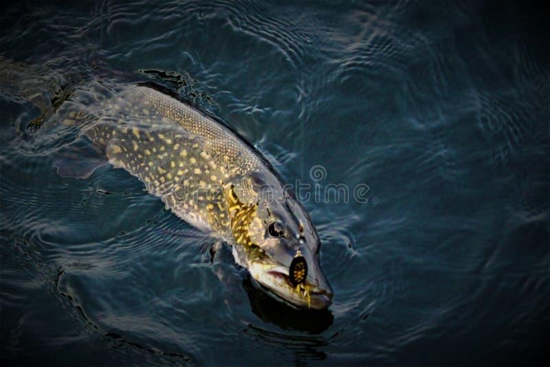 Pike на линии: Сказ ` s рыболова стоковое изображение