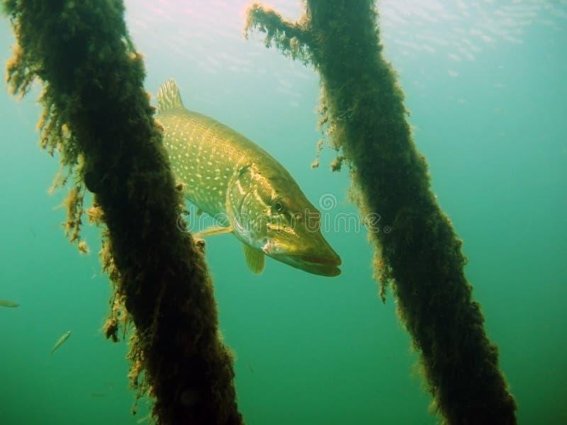 Download Pike stock image. Image of swim, hinge, diving, dive - 23245335