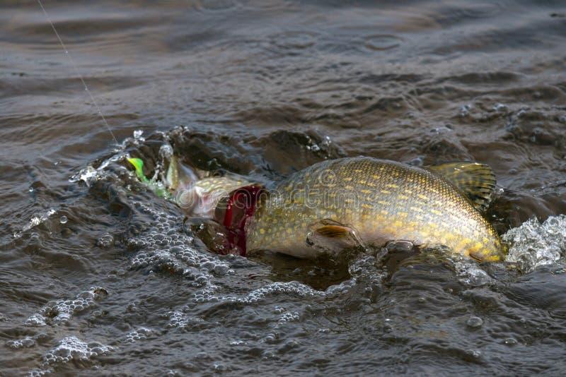Pike auf dem Haken Kaltes Wasser mit Blasen und gelber Seite von stockbilder