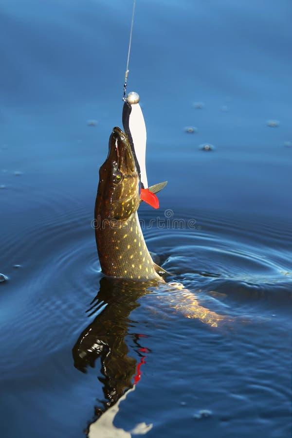 Pike com pesca à corrica foto de stock