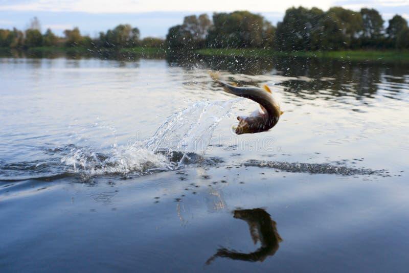 Pike em saltar do gancho da água fotos de stock royalty free