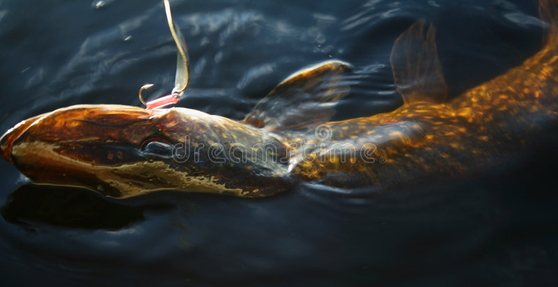 A pike fighting royalty free stock image