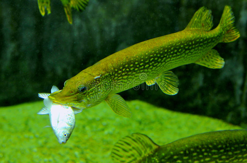 Pike fish feeding royalty free stock photography
