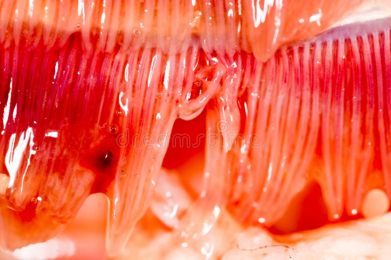 Pike fish gills. super macro royalty free stock photography
