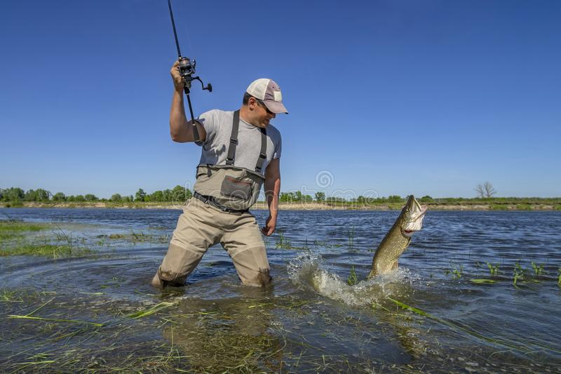 Pike fishing. Happy fisherman fights with big fish in water at river stock photos