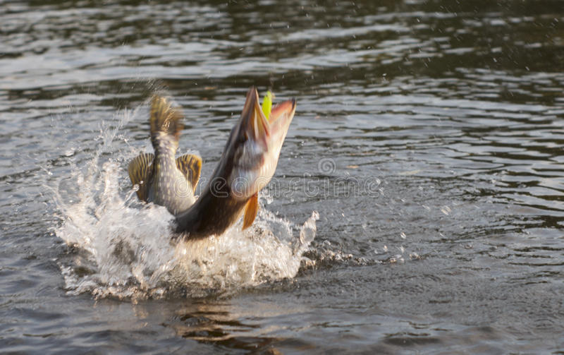 Pike on hook motion blur stock photo