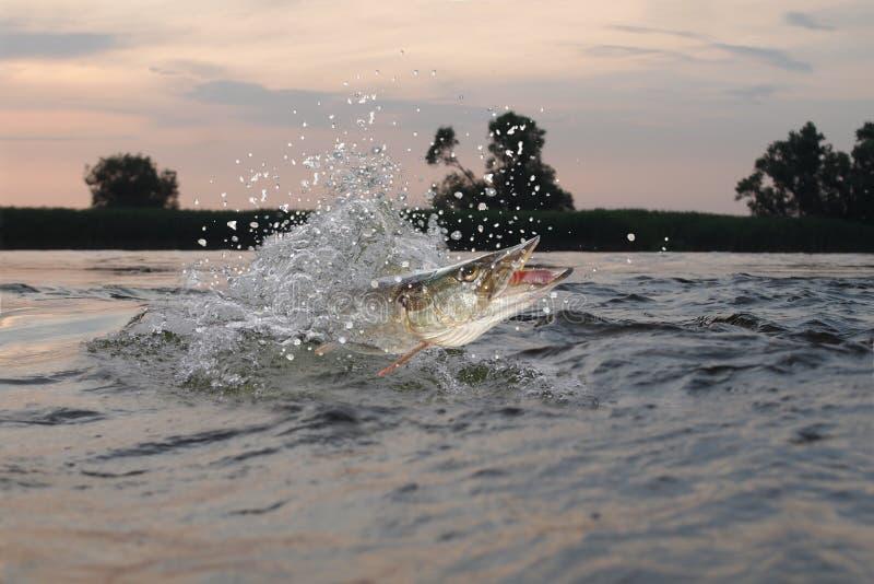 Pike im Fluss lizenzfreies stockbild