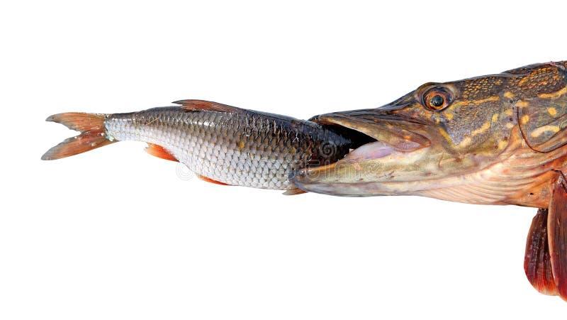 Pike isst roech stockfoto