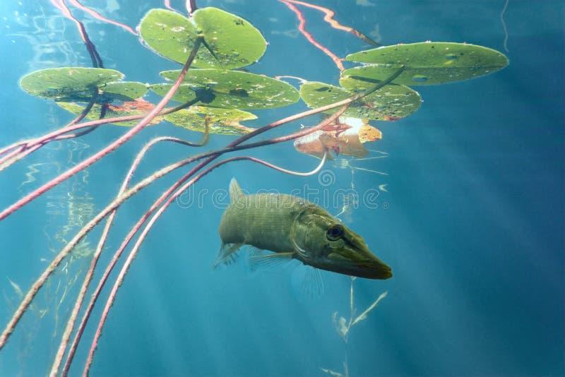Download Pike stock image. Image of fish, predator, fauna, nature - 39503609