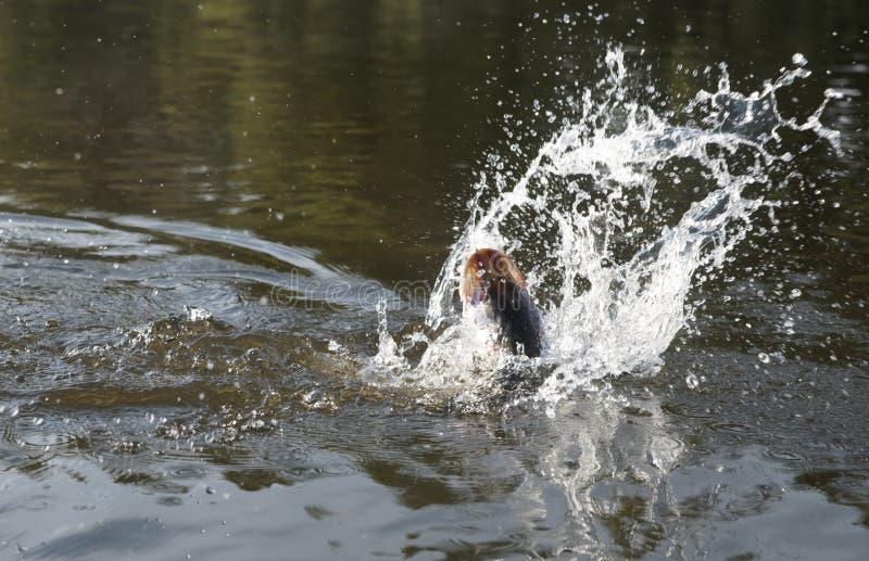 Pike na luta do gancho na água fotos de stock