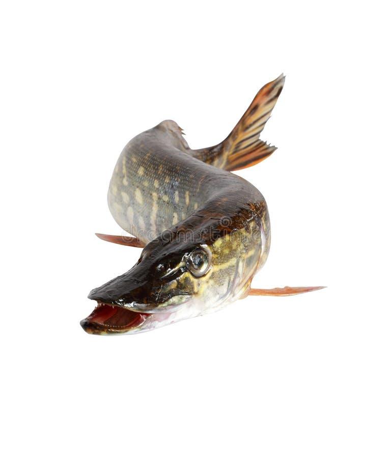 Pike no branco foto de stock