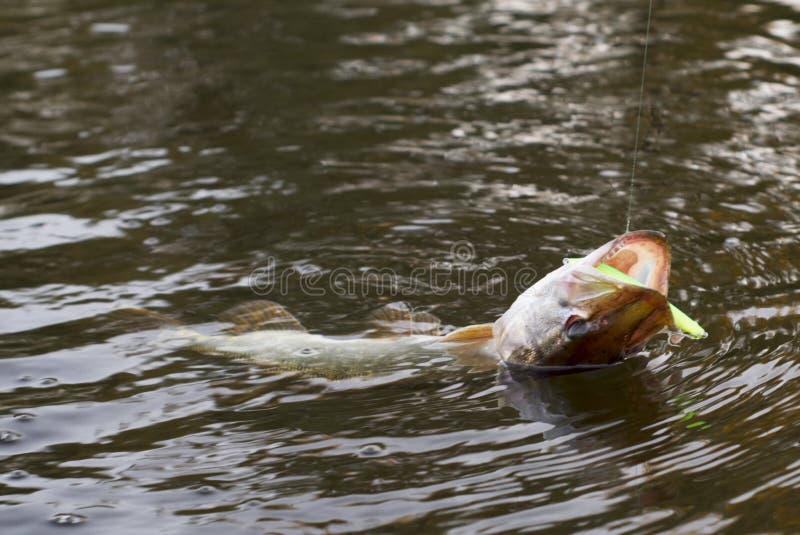 Pike no gancho (borrão de movimento ligeiro) fotos de stock