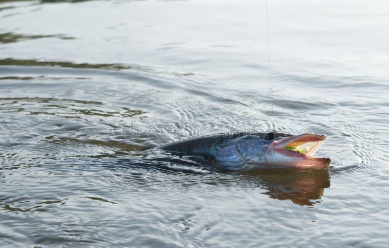 Pike no gancho na água imagem de stock royalty free
