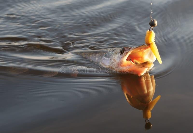 Pike no gancho na água fotografia de stock royalty free