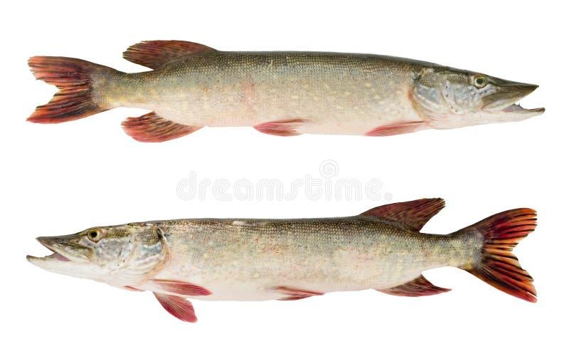 Pike-pescados fotos de archivo libres de regalías