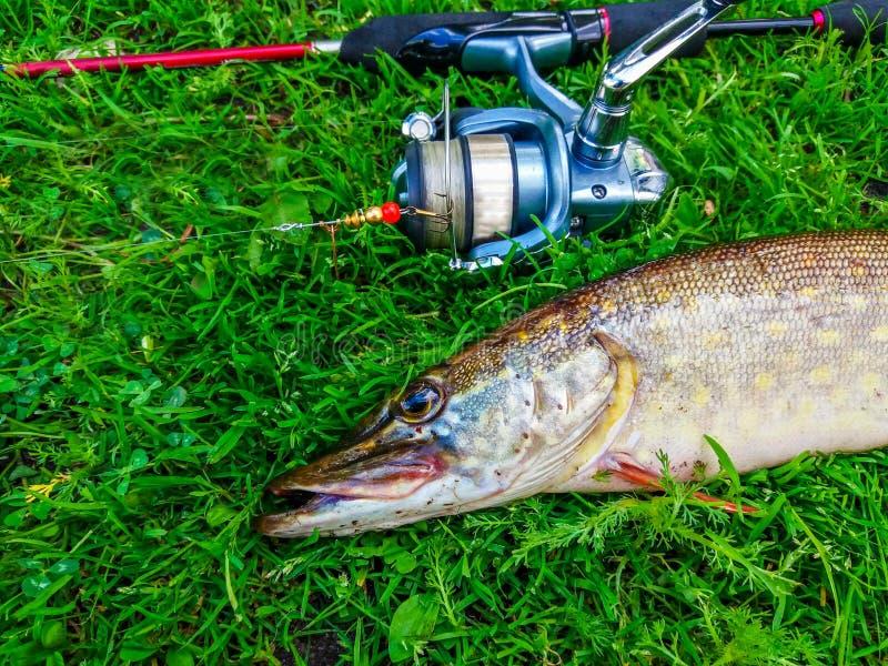 Pike s'est propag? la rotation Photo de brochet avec l'attirail sur l'herbe verte photographie stock libre de droits