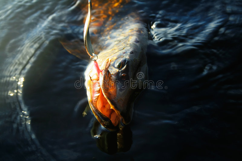 A pike showing teeth royalty free stock photos