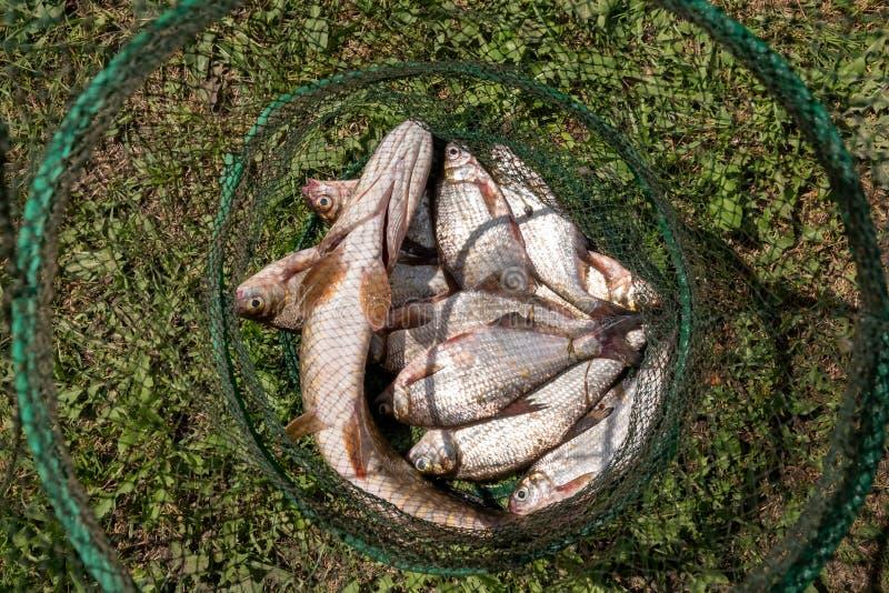 Pike und Brachsen in einem Fischereikäfig Fisherman& x27; s-Opfer lizenzfreies stockfoto