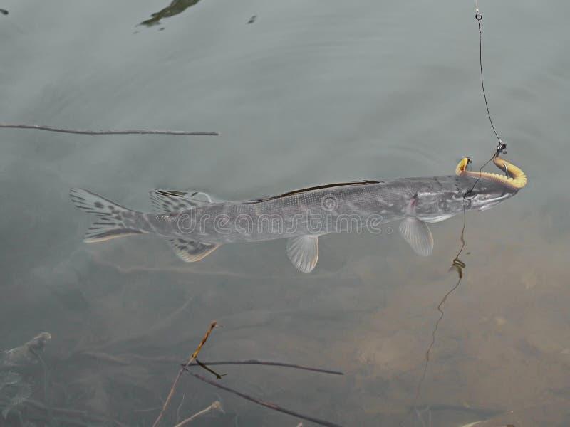Pikfisk som fångas i vatten, fiske som metar royaltyfri foto