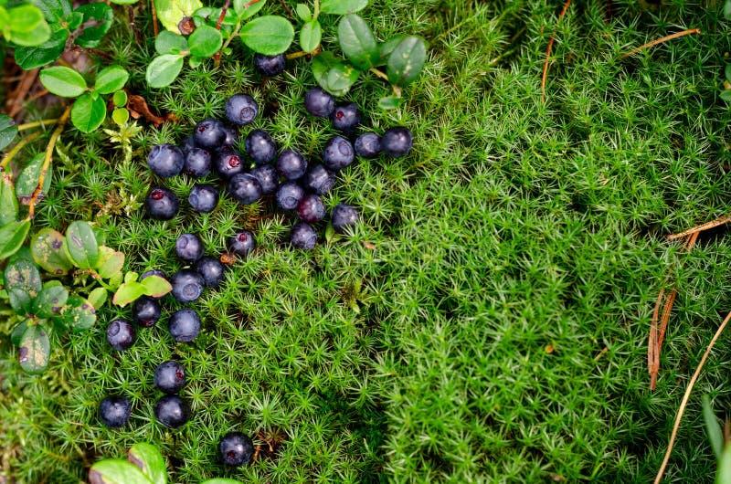 Piking新鲜的蓝莓,莓果在与毛皮树针的绿色青苔 免版税库存图片