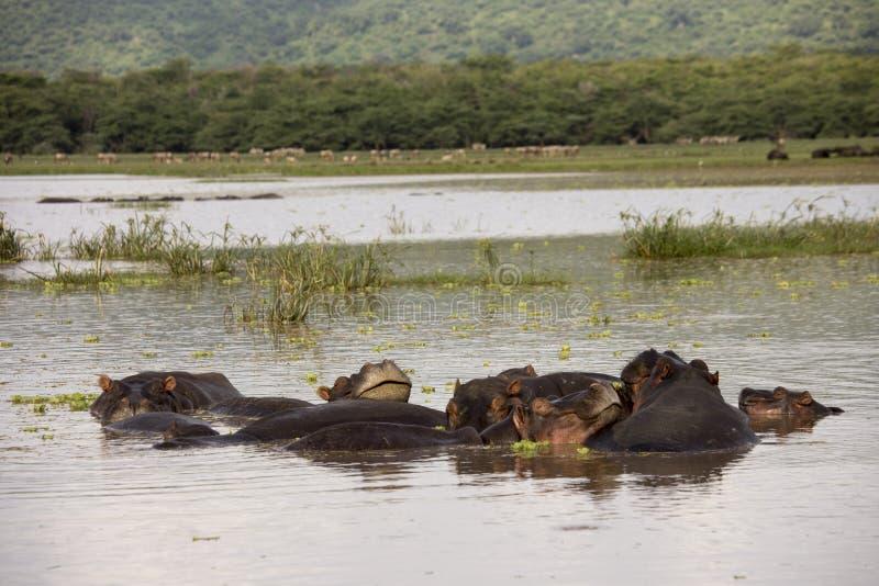 Pil e hipopotamy wewnątrz nawadnia, Jeziorny Manyara, Tanzania fotografia royalty free