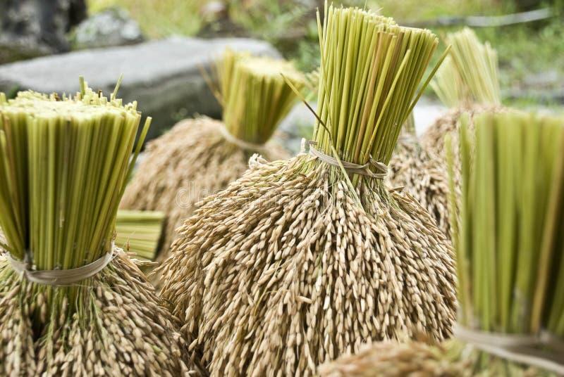 Pila de arroz nuevamente cosechado imagenes de archivo