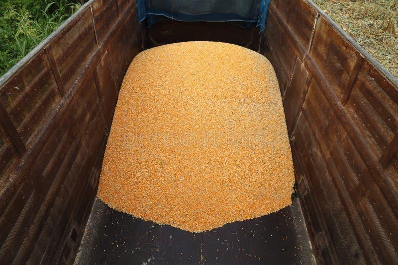 Pila de habas crudas del maíz del corazón foto de archivo