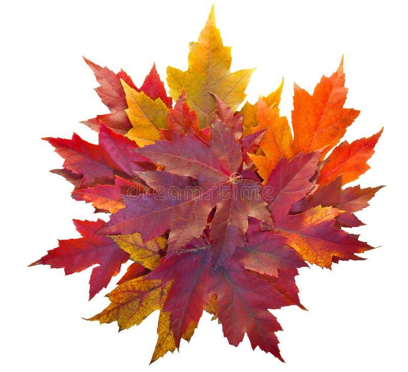 Pila de las hojas de arce de la caída aislada foto de archivo