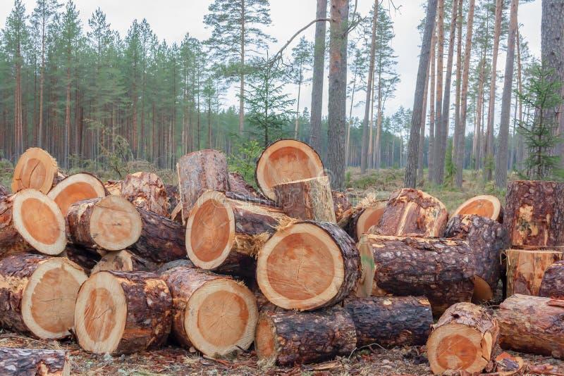 Pila de registros aserrados El Woodpile del pino reci?n cosechado abre una sesi?n troncos de un bosque de los ?rboles cortados y  fotos de archivo libres de regalías