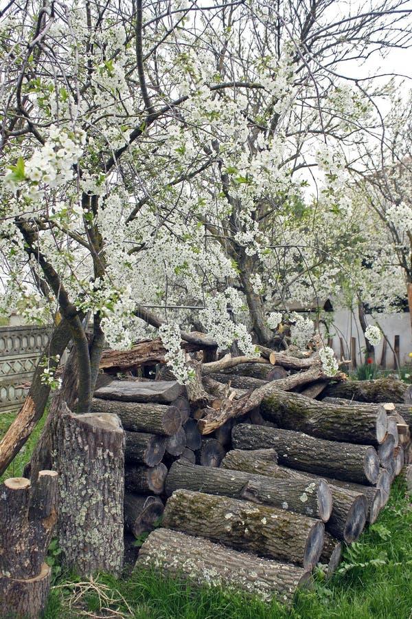 Pila di legna da ardere ordinatamente sistemata in un frutteto sotto un susino di fioritura fotografia stock
