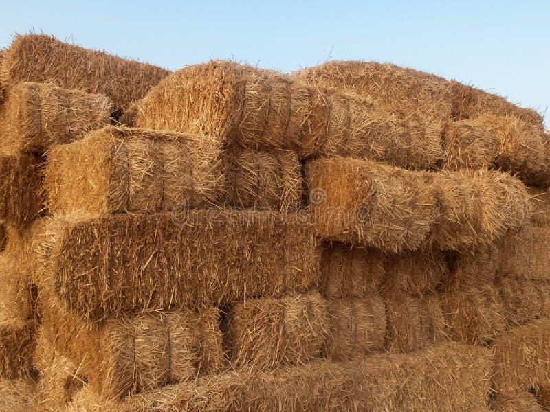 Pilas de paja seca Pajares llenados de la paja Pilas de heno de oro en un campo del campo foto de archivo libre de regalías