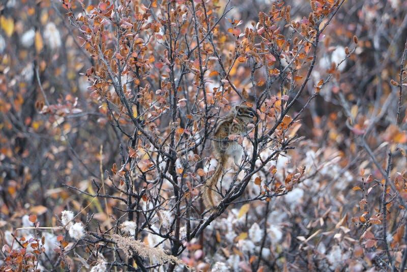 Pilbåge sjö Chimpmunk royaltyfri fotografi