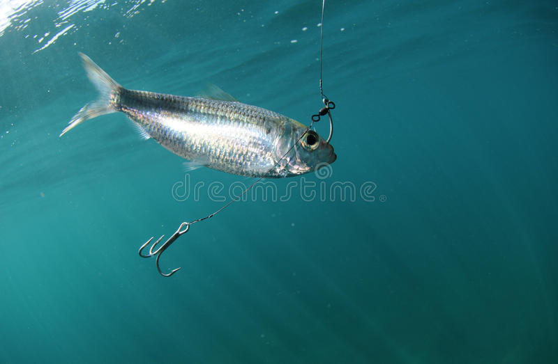 Pilchard fish bait on hook royalty free stock image