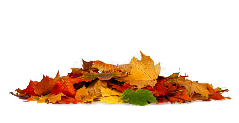 Pile of autumn colored leaves isolated on white background. A heap of different maple dry leaf .Red and colorful foliage colors in the fall season royalty free stock photos