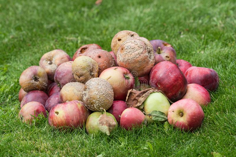 Bad and rotten apples. Pile of bad and rotten apples on a green grass lawn stock photo