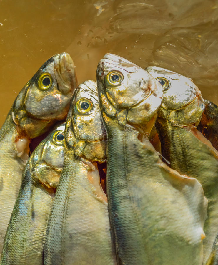 Pile of bluefish in a glass bowl before cooking stock photo